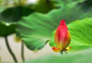 lotus-2471162_960_720